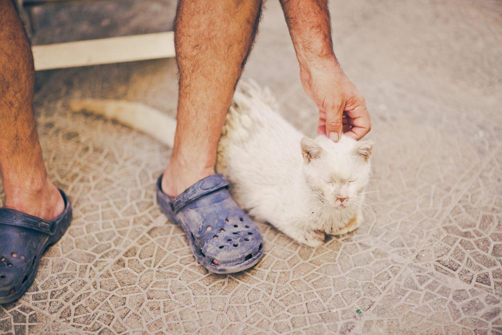 A Maltese cat